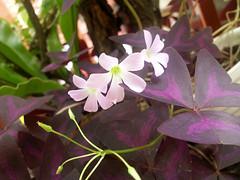 ผีเสื้อราตรีม่วง, Indian park (som300) Tags: flower plant oxalis motorola zn5