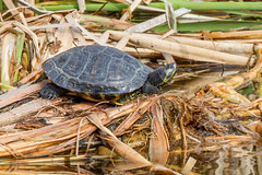 _MG_0121 Common Slider (Trachemys scripta), Quinta do Lago, Portugal, 13 January 2013 (Lathers) Tags: portugal algarve quintadolago trachemysscripta commonslider canon7d canonef500f4lisusm 13january2013