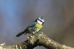 Blue Tit (Moulting) (Colin Rigney) Tags: blue nature birds tit tits wildlife feathers bluetit enniskerry moulting cowicklow colinrigney