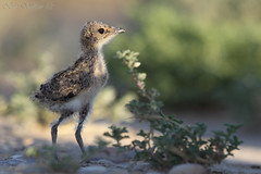 collared pratincole chick - Qatar () Tags: birds lens super bin chick sultan 2012 qatar collared pratincole potographers       superlens specanimal potographer     qatarbirds  binsultan lesnafi
