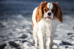 Is Chewing Ice Good for You? (Michael Wahlgren) Tags: old stella 2 summer dog white snow playing cute gr