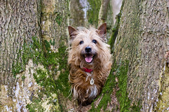 6/52 - Tree climber (Dogloverlou) Tags: tree happy moss sticks woods walk posing terrier bark missy inatree treeclimbing 2013 52weeksfordogs