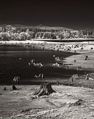 Alder Lake (mjardeen) Tags: on1 on1effects wa washington sony a7ii a7m2 alderlake fe 70200mm ƒ4 g oss bw black white blackandwhite ir infrared converted lifepixel landscape landscapesshotinportraitformat