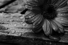 wet flower (Key Word) Tags: flower wet raindrop droplet white black art macro