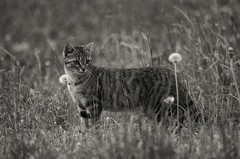 Pictures-049 (hermaion1) Tags: chat flin animaldecompagnie animaux noiretblanc faune