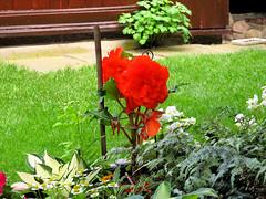 Flowers - (PL) Pelargonia (transport131) Tags: ogrd garden summer flower kwiat pelargonia geranium pelargonium