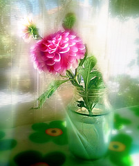Happyness is...touch of pink (anna anton *) Tags: dahlia georgina flowers touchofpink flora blossom pink summer