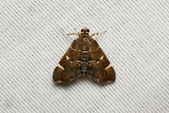 Lepidoptera (Moth sp.) - Costa Rica (Nick Dean1) Tags: lepidoptera moth animalia arthropoda arthropod hexapoda hexapod insect insecta costarica guanacaste arenallodge canon canon7d macro