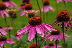 Cone Flower 1 (Nikon Guy 56) Tags: flower nature coneflower nikon d60 doublefantasy