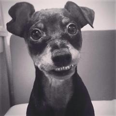 Miniature pinscher, Gala (jestemgala) Tags: miniaturepinscher pinscher doberman zwergpinscher dog smalldog dogsmile smile pies pinczer cute
