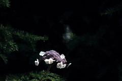 Ghosts in the Garden (Heaven`s Gate (John)) Tags: hidcote gardens house plant flower nature hydrangea botanical england national trust summer sunflight ghost johndalkin heavensgatejohn