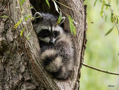 Buzz Off (T0nyJ0yce) Tags: baby raccoon wild animals cute bee wildlife babyanimals adorable sleepy mask explore