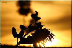 sunflower at sunset (modekopp) Tags: canoneos70d ef 100400 canoneos70def100400