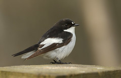 A male Pied Flycatcher. (Ficedula hypoleuca). (Sandra Standbridge.) Tags: bird piedflycatcher ficedulahypoleuca animal durham outdoor wildandfree male perched