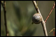 snail (alamond) Tags: snail bush branch life spiral canon 7d markii mkii llens ef 70300 f456 l is usm alamond brane zalar