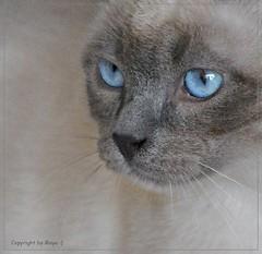 Blaue Augen * Blue Eyes * Ojos azul *   . DSC_2536-002 (maya.walti HK) Tags: 130916 2011 animales animals augen catseyes cats copyrightbymayawaltihk eyes flickr gatos katzen katzenaugen nikond3000 ojos ojosdegatos tiere