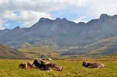 Vacas (Erre Taele) Tags: vacas cows pirineos pyrenees pyrenäen pyrénées aragon allfreepictures bestof2016