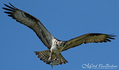 Single-Handed Catcher (Osprey) (Mitch Vanbeekum Photography) Tags: osprey ospreyinflight flying flight fly mitchvanbeekum mitchvanbeekumcom canon14teleconvertermkiii canonef500mmf4lisiiusm canoneos1dx fish food fishing thompsonbeach mauriceriver nj newjersey wildlife raptor pandionhaliaetus