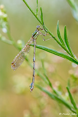 NAW-5410 (Nawred85) Tags: animaux insectes libellules nature odonates sauvages