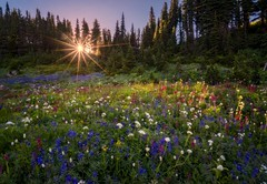 sunburst and wild flowers (Donald L.) Tags: sunburst summer mount rainier wild colorful lupine paintbrush pink purple park meadow washington