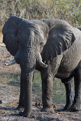 DT-141 (Photography by Brian Lauer) Tags: africa botswana safari safaris wildlife travel nikonphotography nikon lion elephant hippo fisheagle saddlebilledstork piedkingfisher lilacbreastedroller wilddog