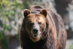 Handsome (jeff's pixels) Tags: grizzly bear brown mammal nature animal fur teddy cute nikon d750 tamron 150600