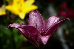 *** (pszcz9) Tags: polska poland przyroda nature kwiat flower zblienie closeup ogrd garden kropla raindrop beautifulearth sony a77 bokeh