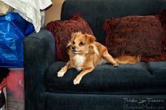 Mia04 (TrishaLyn) Tags: dogs animals pomeranian chihuahua pomchi pets