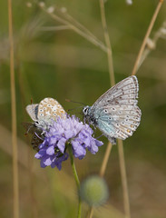 Lunch break (jump for joy2010) Tags: chalkhillblue polyommatuscoridon poleeohmaytusskoridon insect august 2016 poldenhills somerset uk sexualbehaviour atit wildflowers grassland knautiaarvensis fieldscabious ladyspincushion blue bonnetscombe hillthe polden way mating butterfly lilac