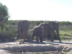 Elephants With My iPhone (zenseas : )) Tags: elephant loxodontaafricana road roadside roadway driving selfdrive selfdrivesafari safari etosha etoshanationalpark namibia africa holiday vacation mud africanbushelephant africanelephant elephants namutoni explore explored