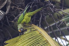 Eupsittula aurea (Luiz Baroni Junior) Tags: 2016 ano aves cidade estado fotgrafo lugares luizbaronijunior periquitoreieupsittulaaurea pistacludiocoutinho riodejaneiro urca brasil