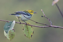 Black-throated Green Warbler (J.B. Churchill) Tags: allegany btnw birds blackthroatedgreenwarbler finzelpond finzelswampfieldandpond maryland places taxonomy warblers frostburg unitedstates us