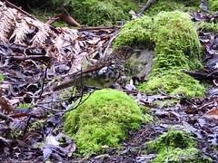 White's Thrush (jeaniephelan) Tags: whitesthrush thrush bird tasmanianbird australianbird