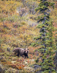 Fall Grizzly (Loren Mooney) Tags: dempsterhighway seasons grizzlybear wildlife mammal fallcolors bear outdoors yukonterritory nature fall wilderness animal bearsursidae grizzly