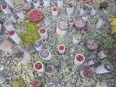 Collection of colourful flowerpots (seikinsou) Tags: japan spring rinkuutown stargate hotel walk evening park seaside dusk flowerpot garden