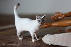 ragdoll-siamese mix cat / ooak by p4d (photos4dreams) Tags: thesiamesecatp4d schleich cat ooak toy plastic spielzeug plastik photos4dreams p4d photos4dreamz photo katze siam siamkatze repaint custom