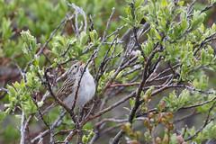 Timberline Song (Cameron Eckert) Tags: yukonterritory moun mountain whitehorse wilderness sparrow timberline treeline snow storm squall ecology ecosystem biodiversity biosphere alpine
