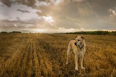 Charlie Striking a Pose (richardbailey87) Tags: dog pet animals mans best friend sky light sunbeams sunlit golden fields nature natural