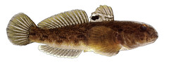 Round Goby (NYS Department of Environmental Conservation) Tags: nysdec nysdepartmentofenvironmentalconservation inland fish freshwater