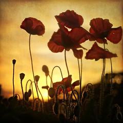 the last men standing... (Zino2009 (bob van den berg)) Tags: autumn holland fall nature warm glow herfst poppies unset bobvandenberg ulebelt magicunicornverybest zino2009 ruby10