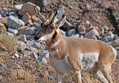 Pronghorn Buck during rut - 0969b+sg (teagden) Tags: park autumn fall photography bush wildlife national antelope yellowstonenationalpark yellowstone buck scratch 2012 ynp scratching rut pronghorn rutting yellowstonepark wildlifephotography antelopebuck jenniferhall pronghornbuck highqualityanimals