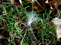 *theres not just fallen leaves that have fallen , keep your eyes openfor*.seeds galorenatures mix**.... (...justbryondthelrnsrecoverin from a stro) Tags: green grass moving interestingness fallen striking autumnleaveseeds