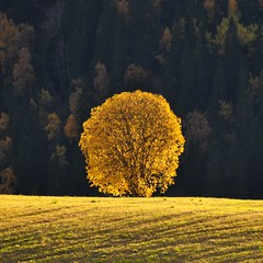 Yellow tree in the sun (ystenes) Tags: autumn tree yellow norway norge tre srtrndelag ler hst trndelag mygearandme mygearandmepremium mygearandmebronze mygearandmesilver mygearandmegold mygearandmeplatinum mygearandmediamond flickrstruereflection2 flickrstruereflection3 flickrstruereflection4 flickrstruereflectionlevel1 rememberthatmomentlevel4 rememberthatmomentlevel1 rememberthatmomentlevel2 rememberthatmomentlevel3 rememberthatmomentlevel5 rememberthatmomentlevel6