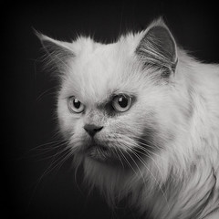(windrides) Tags: white black cat dark persian sigma softbox merrill sd1 1750mm