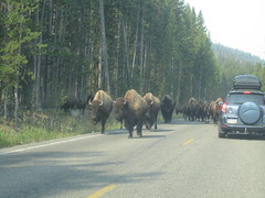 ... sometimes you can't stop the bison from approaching you. (JJP in CRW) Tags: wildlife yellowstone wyoming nationalparks bison roadsandhighways