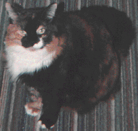pets cat greeneyes chanel calicocat beautifulcat infinitexposure