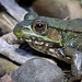 "Green Frog (Rana Clamitans) • <a style=""font-size:0.8em;"" href=""http://www.flickr.com/photos/39798370@N00/8090331569/"" target=""_blank"">View on Flickr</a>"
