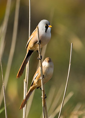 Bearded Tits - Panurus biarmicus (Gary Faulkner's wildlife photography) Tags: stodmarsh beardedtit kentbirds
