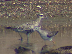 American Golden-Plover, adult, Florida, Oct (Malcolm Mark Swan) Tags: florida americangoldenplover pluvialisdominica