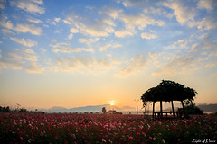 Sunrise at cosmos field with a hut, Han River (Light of Peace) Tags: morning pink cloud sunlight mountain flower tourism nature field horizontal sunrise outdoors photography day nopeople growth hut southkorea dramaticsky mountainrange tranquilscene traveldestinations colorimage famousplace beautyinnature cosmosflower koreatour southkorealandscape